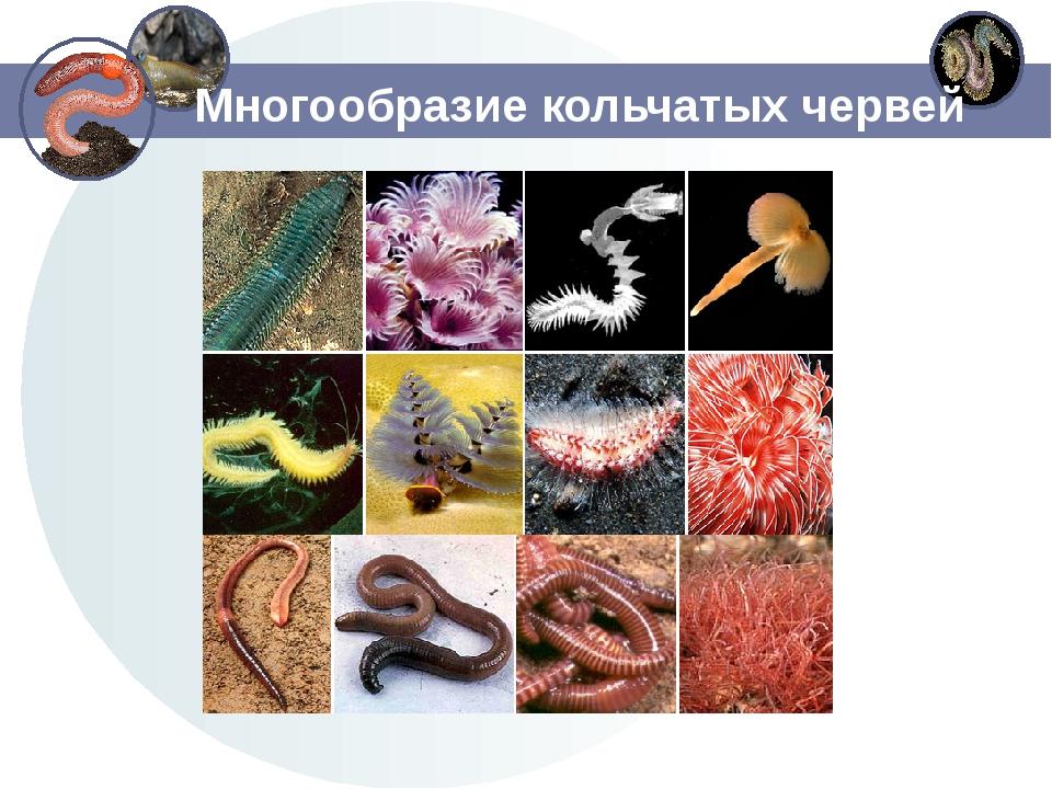 Многообразие кольчатых червей