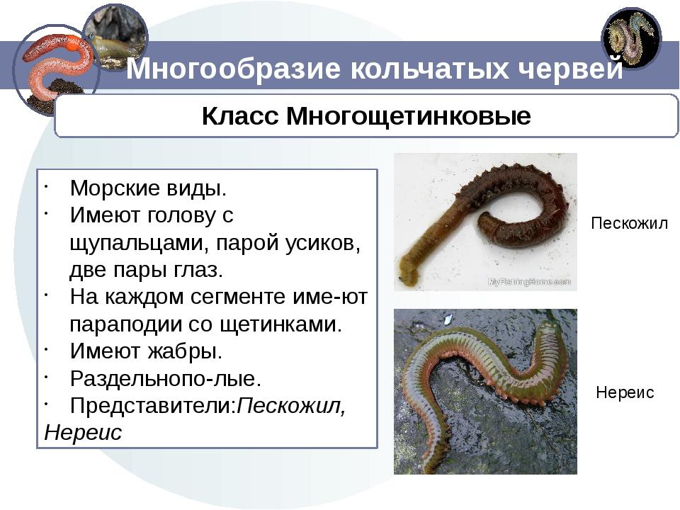 Многообразие кольчатых червей Морские виды. Имеют голову с щупальцами, парой...