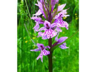 Ятрышник Семейство Орхидные