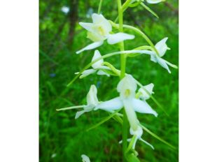 Любка двулистная Семейство Орхидные