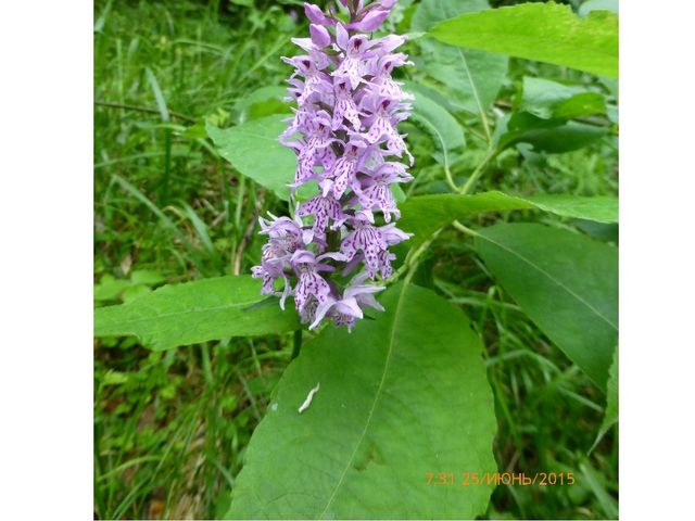 Пальчатокоренник пятнистый Семейство Орхидные