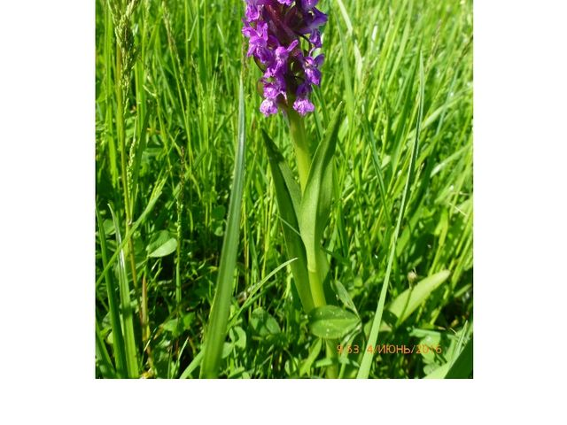 Кокушник длиннорогий Семейство Орхидные
