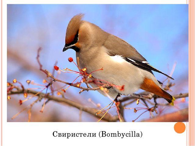 Свиристели (Bombycilla)
