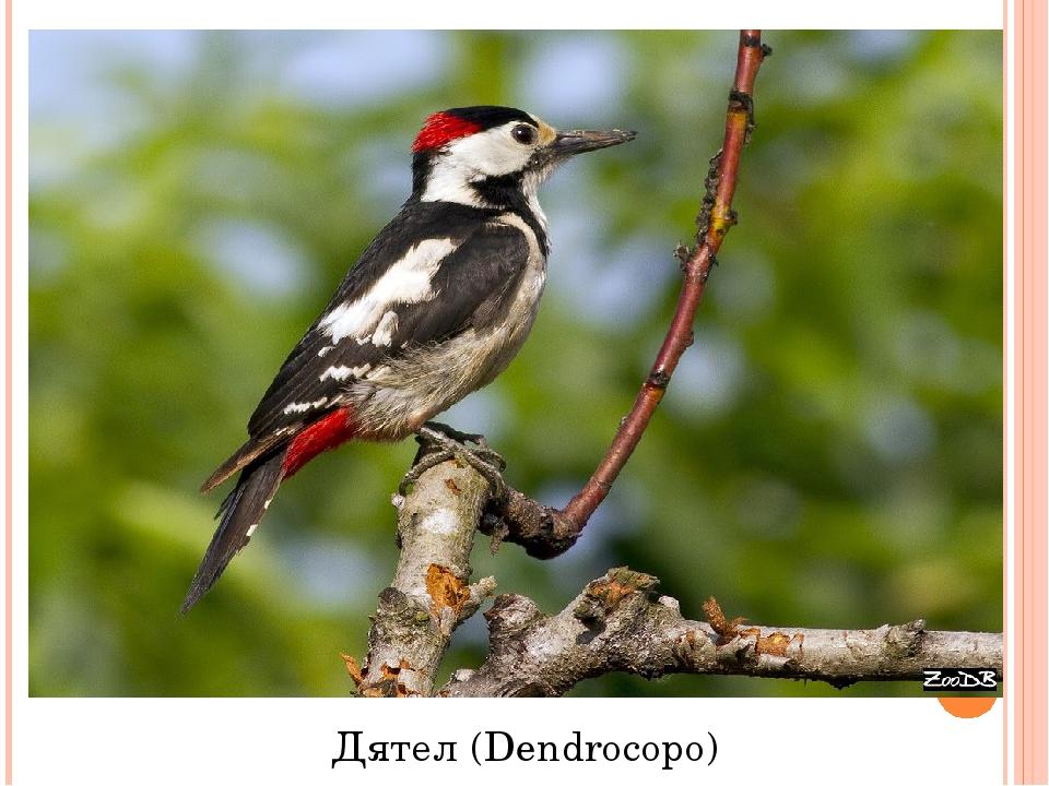 Дятел (Dendrocopo)