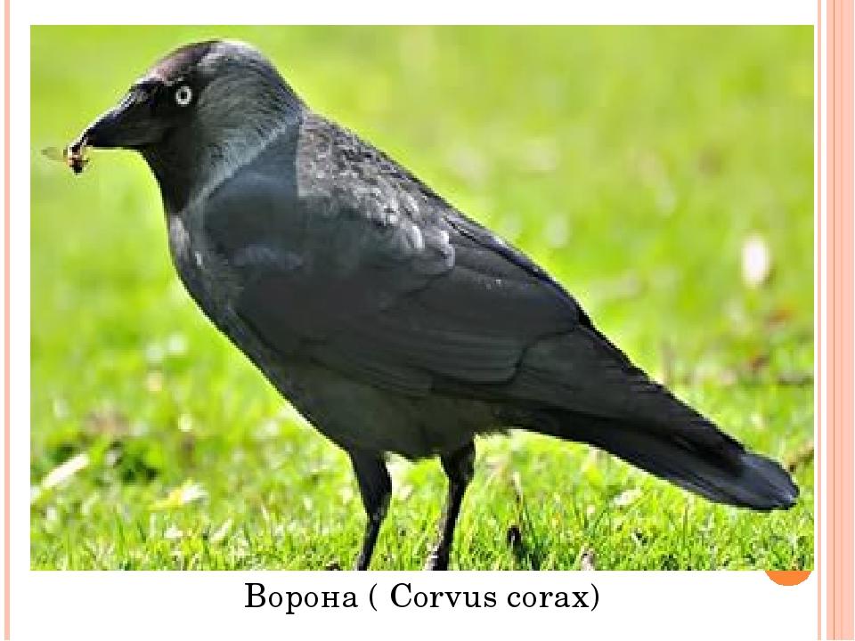Ворона ( Corvus corax)