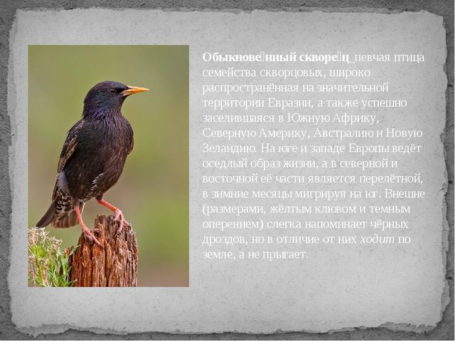 Обыкнове́нный скворе́ц_певчая птица семейства скворцовых, широко распространё...