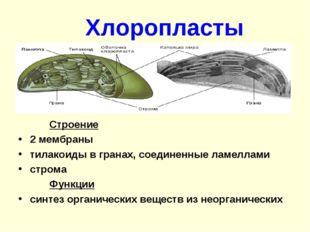 Хлоропласты Строение 2 мембраны тилакоиды в гранах, соединенные ламеллами