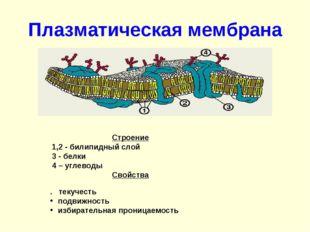 Плазматическая мембрана Строение  1,2 - билипидный слой  3 - белки