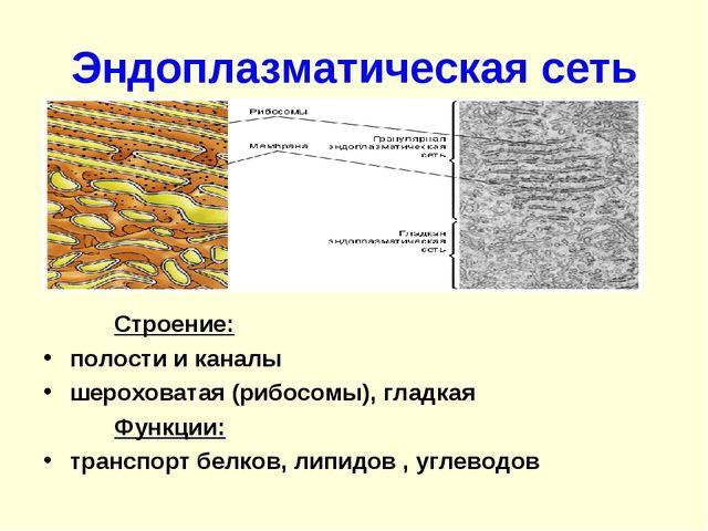 Эндоплазматическая сеть Строение: полости и каналы шероховатая (рибосомы),...