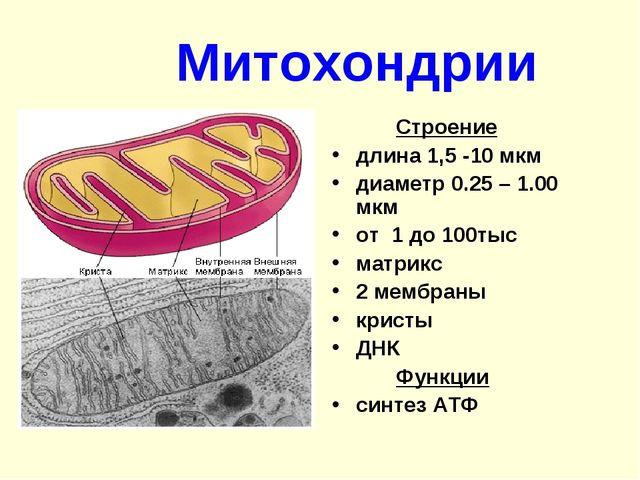 Митохондрии Строение длина 1,5 -10 мкм диаметр 0.25 – 1.00 мкм от 1 до 100...