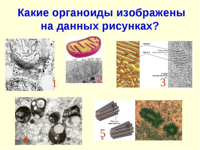 Какие органоиды изображены на данных рисунках? 1 2 3 4 5 5