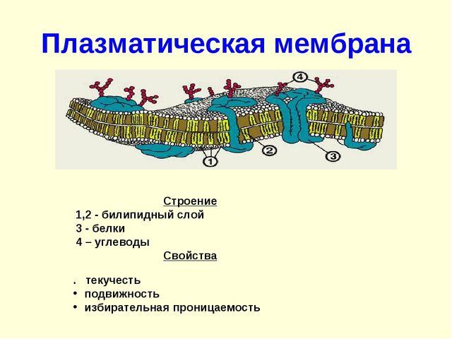 Плазматическая мембрана Строение  1,2 - билипидный слой  3 - белки...