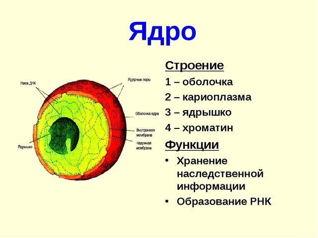 Ядро Строение 1 – оболочка 2 – кариоплазма 3 – ядрышко 4 – хроматин Функции...