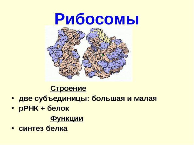 Рибосомы Строение две субъединицы: большая и малая рРНК + белок Функции...
