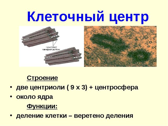 Клеточный центр Строение две центриоли ( 9 х 3) + центросфера около ядра...