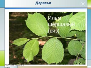 Деревья Ильм шершавый (вяз)