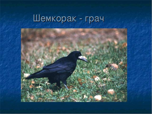 Шемкорак - грач