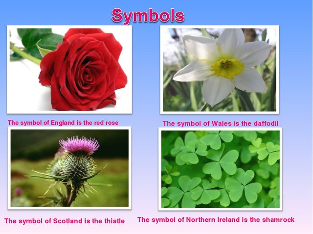 The symbol of England is the red rose The symbol of Wales is the daffodil The...