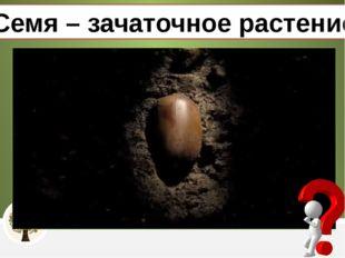 Семя – зачаточное растение