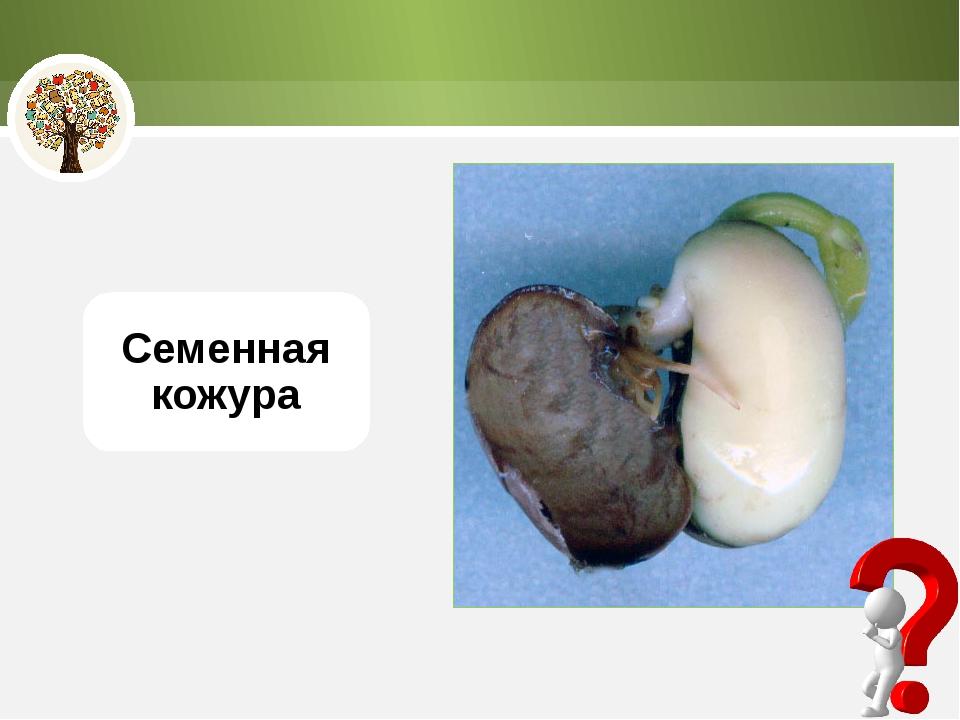 Семенная кожура