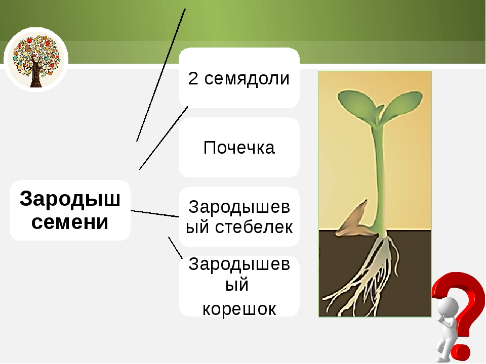 Зародыш семени 2 семядоли Почечка Зародышевый стебелек Зародышевый корешок