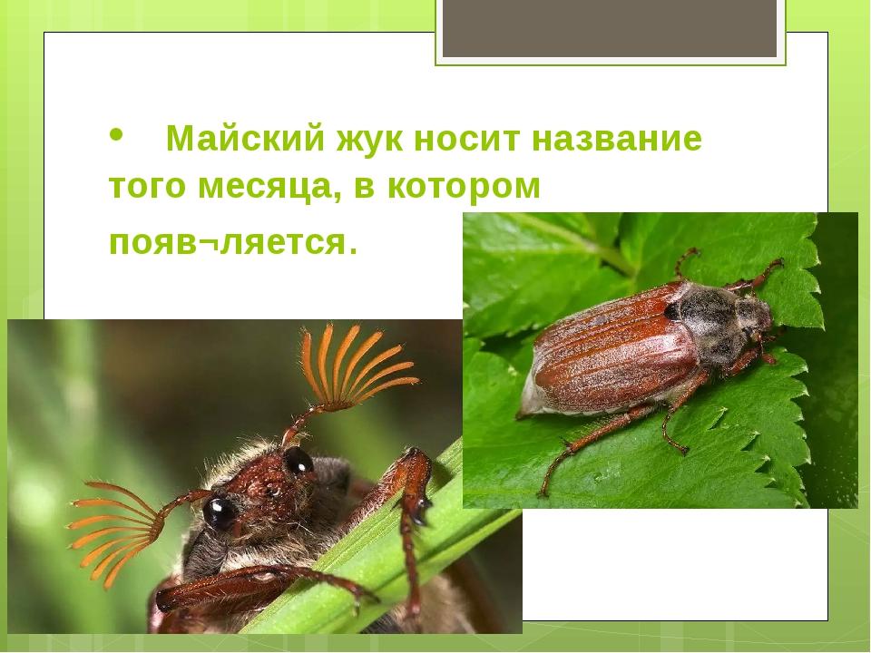 • Майский жук носит название того месяца, в котором появ¬ляется.