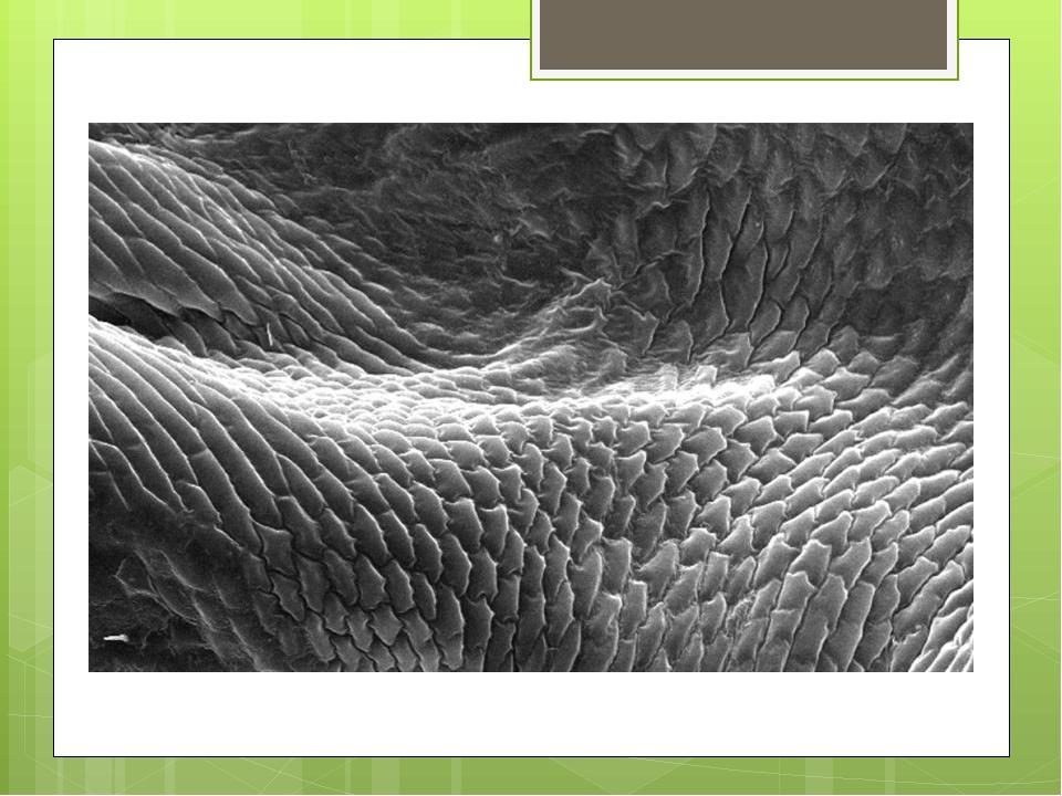 • Тело насекомых имеет легкий, но очень прочный покров, состоящий из маленьк...