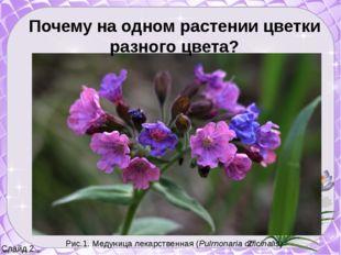 Слайд 2 Почему на одном растении цветки разного цвета? Рис.1. Медуница лекар