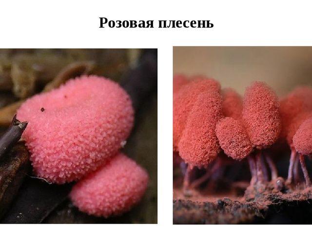 Розовая плесень