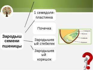 Зародыш семени пшеницы 1 семядоля- пластинка Почечка Зародышевый стебелек Зар
