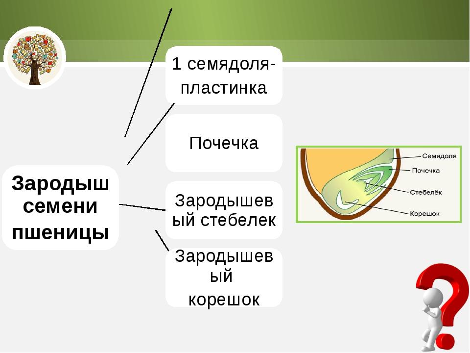 Зародыш семени пшеницы 1 семядоля- пластинка Почечка Зародышевый стебелек Зар...