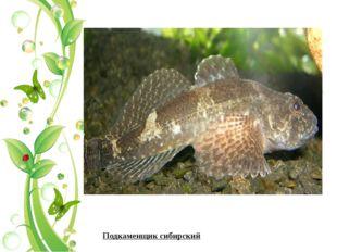 Подкаменщик сибирский