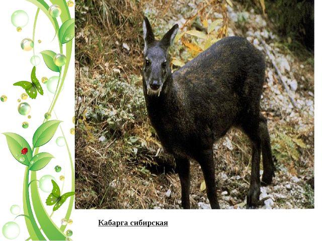 Кабарга сибирская