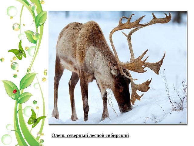 Олень северный лесной сибирский
