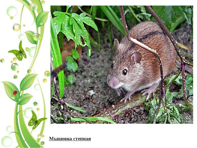 Мышовка степная