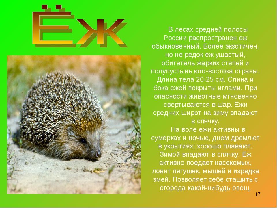 В лесах средней полосы России распространен еж обыкновенный. Более экзотичен,...