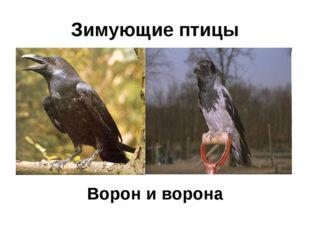 Зимующие птицы Ворон и ворона