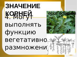 ЗНАЧЕНИЕ КОРНЕЙ 4. Могут выполнять функцию вегетативного размножения ОСОТ ПО