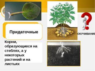 ОКУЧИВАНИЕ Придаточные Корни, образующиеся на стеблях, а у некоторых растений