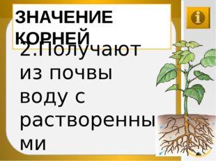 ЗНАЧЕНИЕ КОРНЕЙ 2.Получают из почвы воду с растворенными минеральными веществ