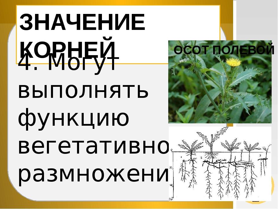 ЗНАЧЕНИЕ КОРНЕЙ 4. Могут выполнять функцию вегетативного размножения ОСОТ ПО...