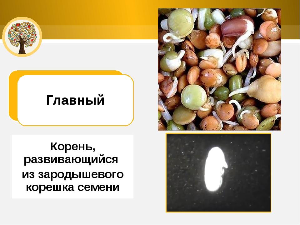 Главный Корень, развивающийся из зародышевого корешка семени
