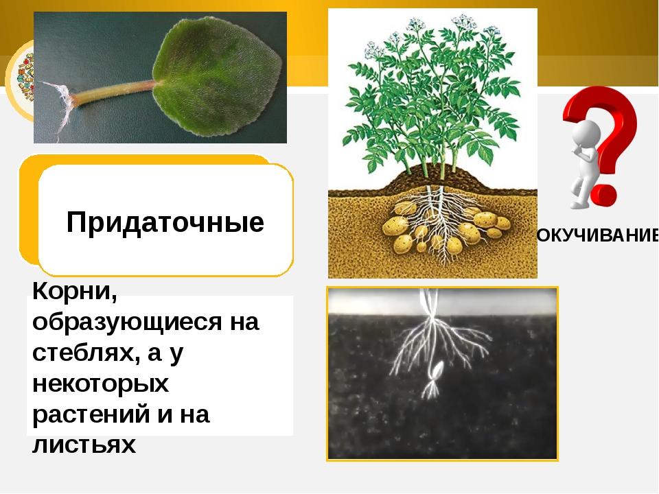 ОКУЧИВАНИЕ Придаточные Корни, образующиеся на стеблях, а у некоторых растений...