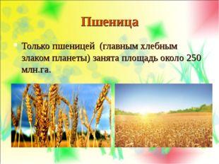 Пшеница Только пшеницей (главным хлебным злаком планеты) занята площадь около