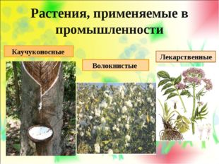 Растения, применяемые в промышленности Каучуконосные