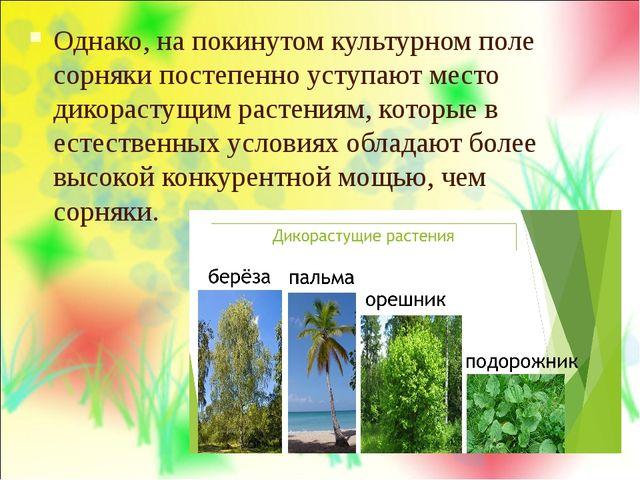 Однако, на покинутом культурном поле сорняки постепенно уступают место дикора...