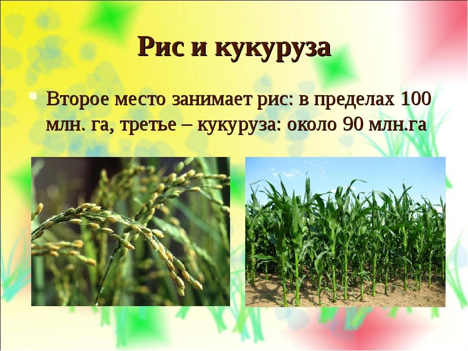 Рис и кукуруза Второе место занимает рис: в пределах 100 млн. га, третье – ку...