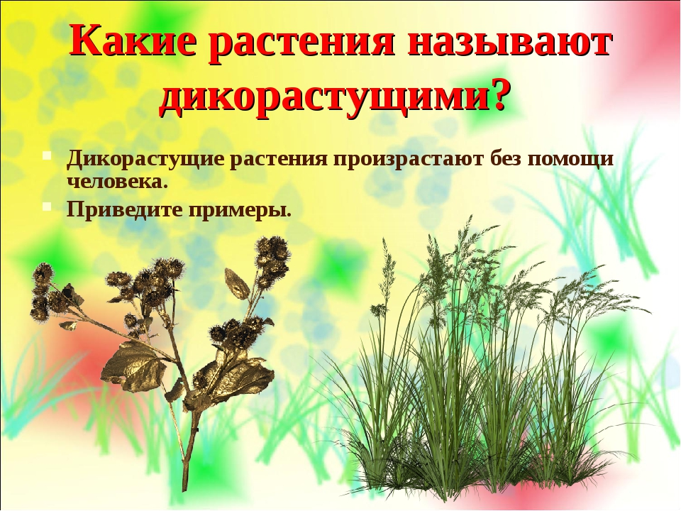 Какие растения называют дикорастущими? Дикорастущие растения произрастают без...
