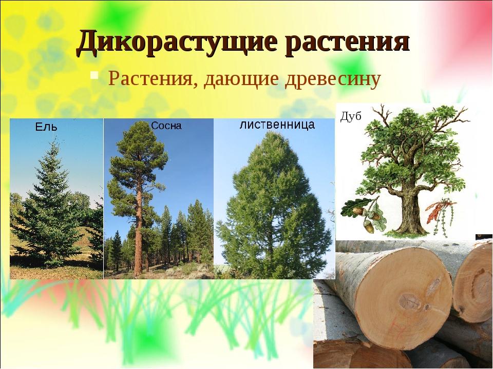 Дикорастущие растения Растения, дающие древесину