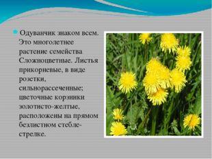 Одуванчик знаком всем. Это многолетнее растение семейства Сложноцветные. Лист